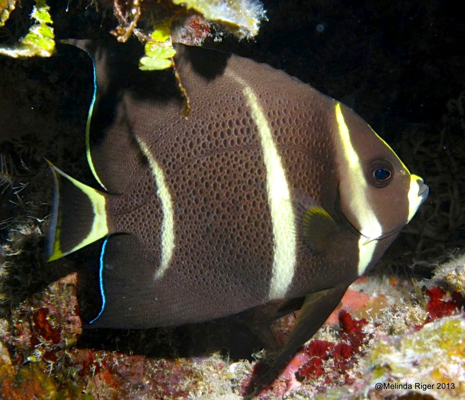 french-angelfish-juv