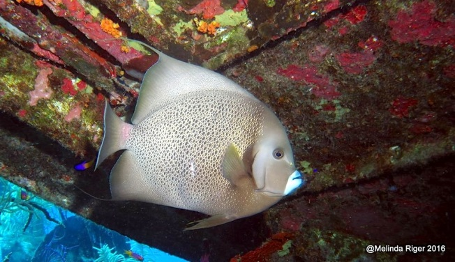 gray-angelfish-7-16-melinda-riger-gb-scuba