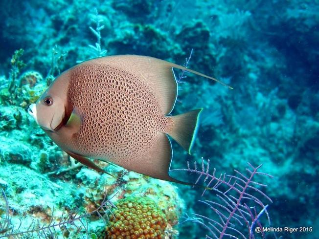gray-angelfish-melinda-riger-g-b-scuba