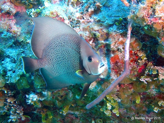 gray-angelfish-melinda-riger-gb-scuba-copy-2