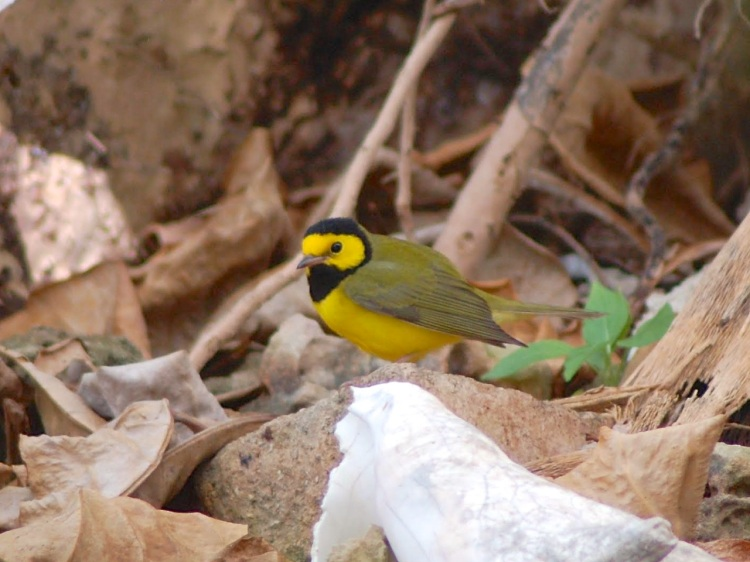 Hooded Warbler, Man-o-War Cay, Abaco (Charmaine Albury)
