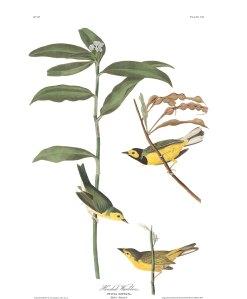 Audubon plate-110-hooded-warbler-final