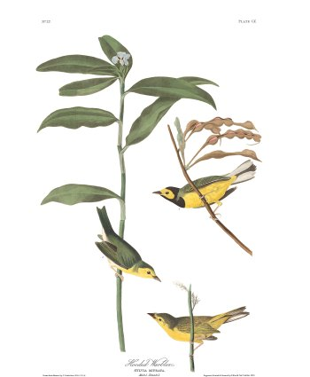 Audubon plate-110-hooded-warbler-final