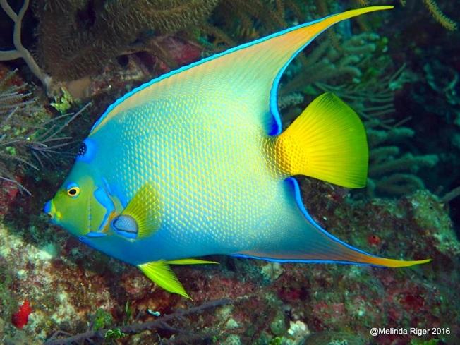 queen-angelfish-melinda-riger-g-b-scuba-copy-2