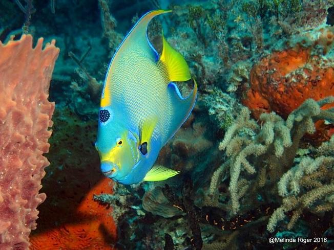 queen-angelfish-melinda-riger-g-b-scuba-copy-3
