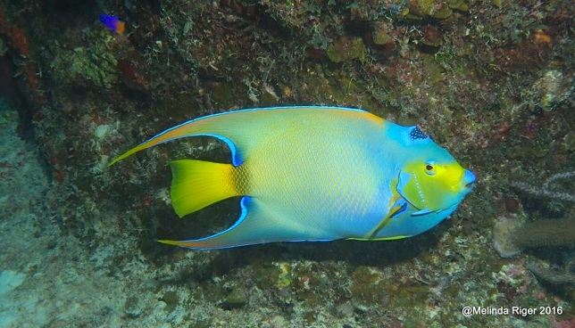 queen-angelfish-melinda-riger-gb-scuba
