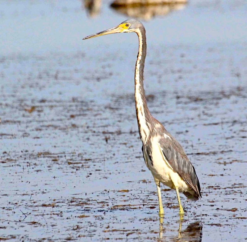 tricolored-heron-abaco-bruce-hallet