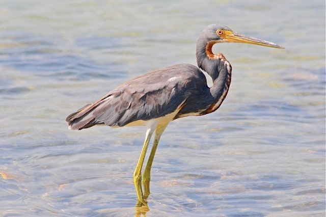 tricolored-heron-abaco-woody-bracey