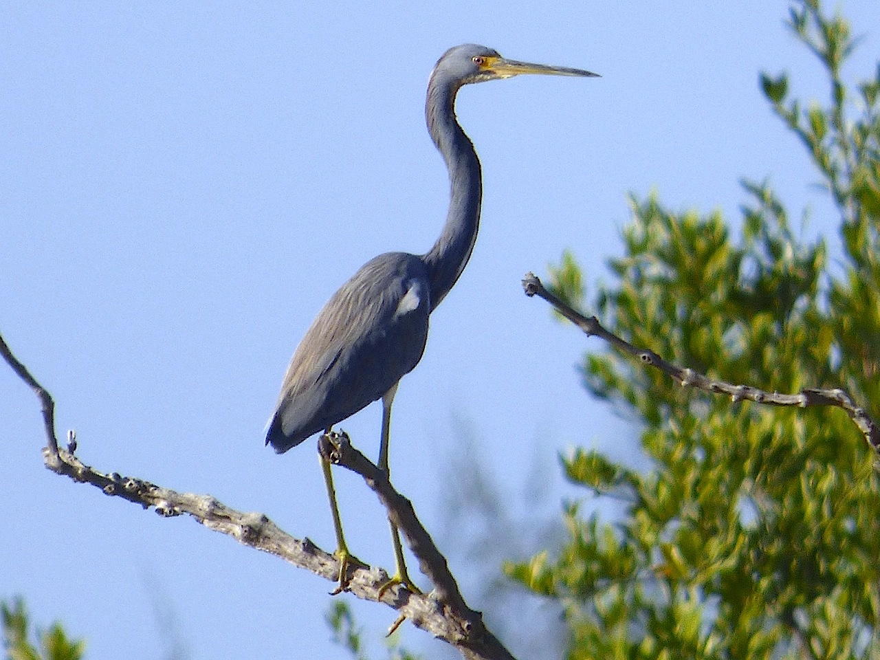 tricolored-heron-gilpin-point-abaco-keith-salvesen