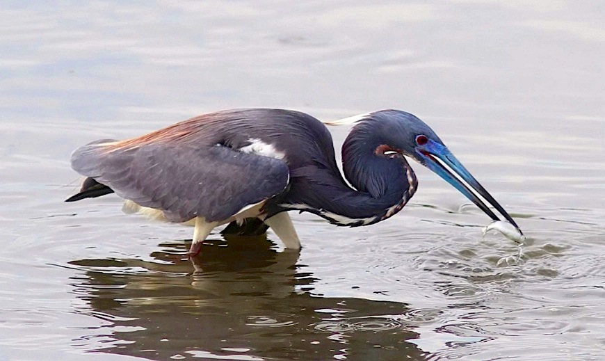 tricolored-heron-phil-lanoue-5