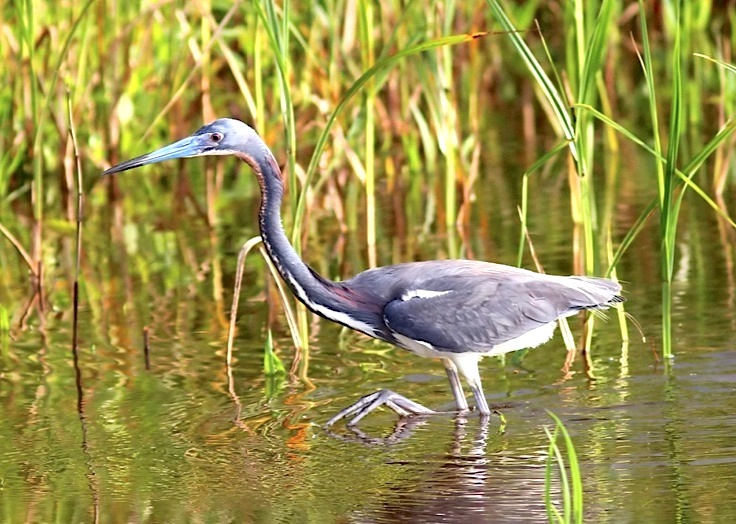 tricolored-heron-phil-lanoue-7
