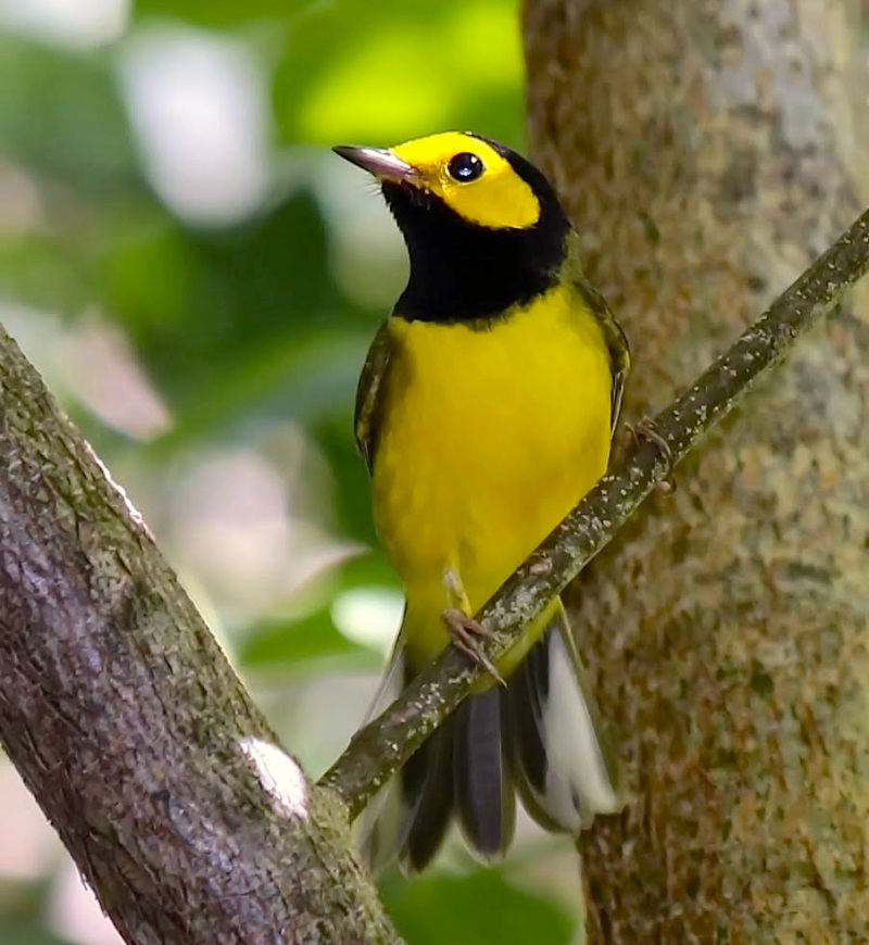 Hooded Warbler, Man-o-War Cay, Abaco (Charmaine Albury)