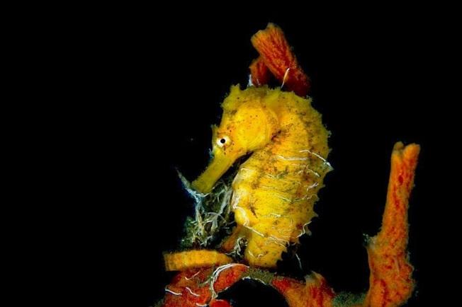 Seahorse (© Adam Rees / Scuba Works)