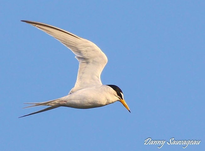 Royal Tern diving for fish (Danny Sauvageau)
