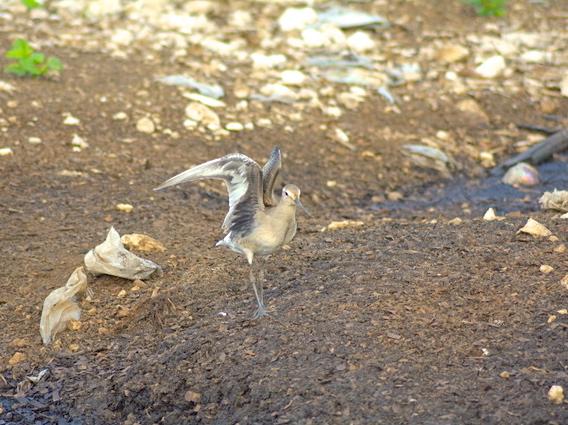 Hudsonian Godwit, Abaco (Keith Kemp)