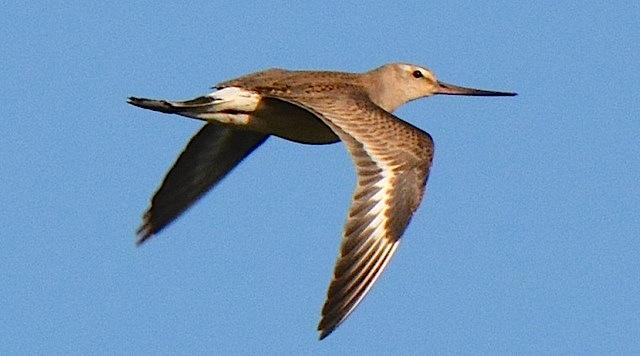 Hudsonian Godwit in flight, Abaco (Roger Neilson)