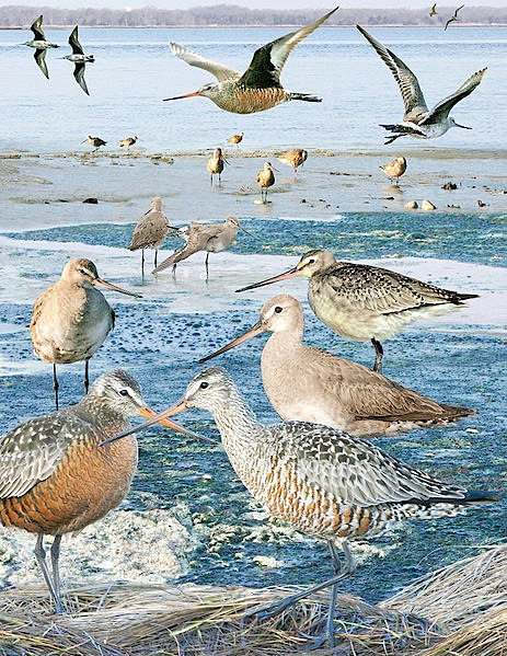 463px-hudsonian_godwit_from_the_crossley_id_guide_eastern_birds