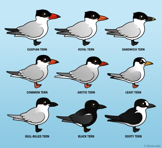 Birdorable: Tern Species