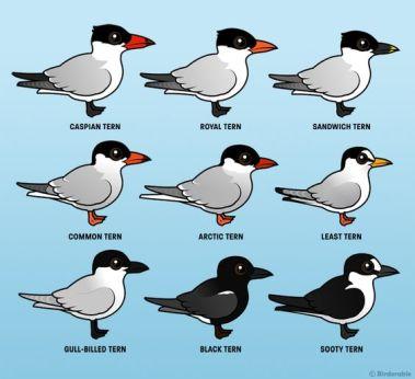 Birdorable: Tern Species