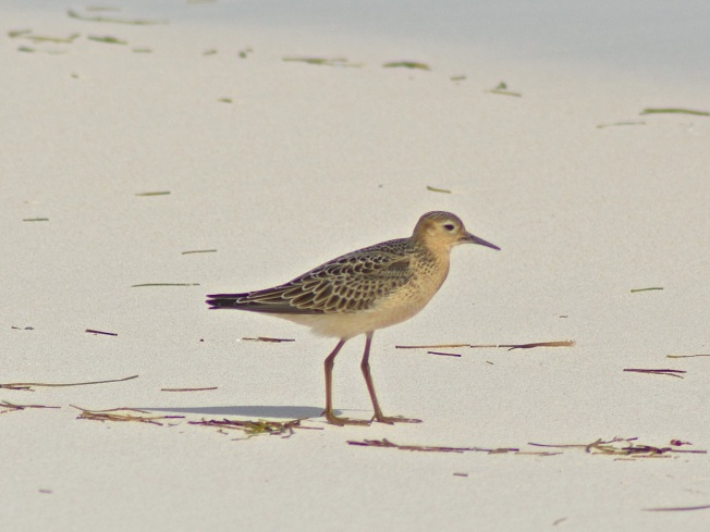 Buff-breasted Sandpiper, Abaco (Keith Kemp)