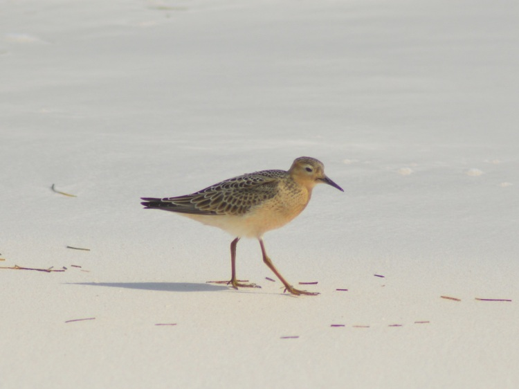 buff-breasted-sandpiper-abaco-keith-kemp-2