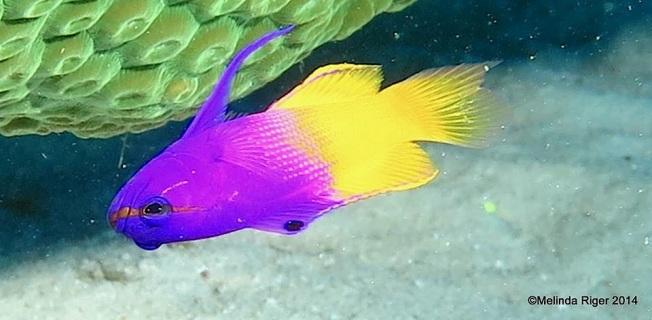 fairy-basslet-melinda-riger-grand-bahama-scuba