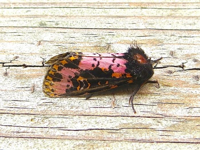xanthopastis-spanish-moth-abaco-bahamas-1