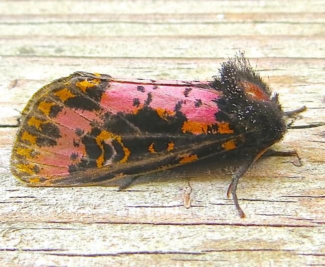 xanthopastis-spanish-moth-abaco-bahamas-2
