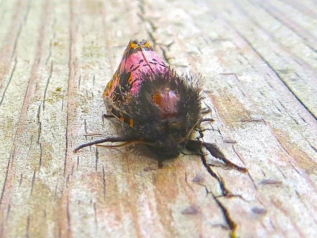 xanthopastis-spanish-moth-abaco-bahamas-3