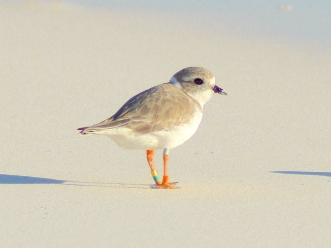 Bahama Mama - Great Lakes Piping Plover on Abaco, Bahamas (Keith Kemp)