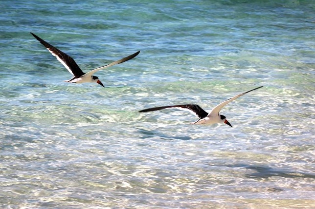 Black Skimmers, Abaco, Bahamas (Charmaine Albury)
