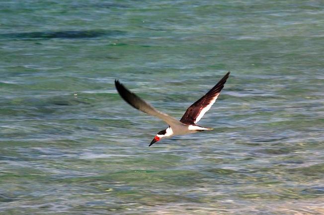Black Skimmer, Abaco Bahamas (Charmaine Albury)
