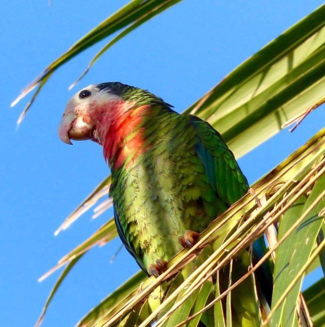 Cuban (Abaco) Parrot, Nassau (Lynn Gape BNT)