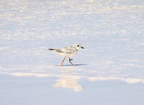 Piping Plover 2-aug-4-long-beach-Abaco-5-birds-inc-ylo