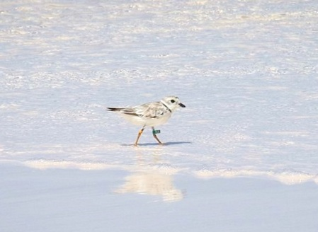 Piping Plover 2-aug-4-long-beach-Abaco-5-birds-inc-ylo