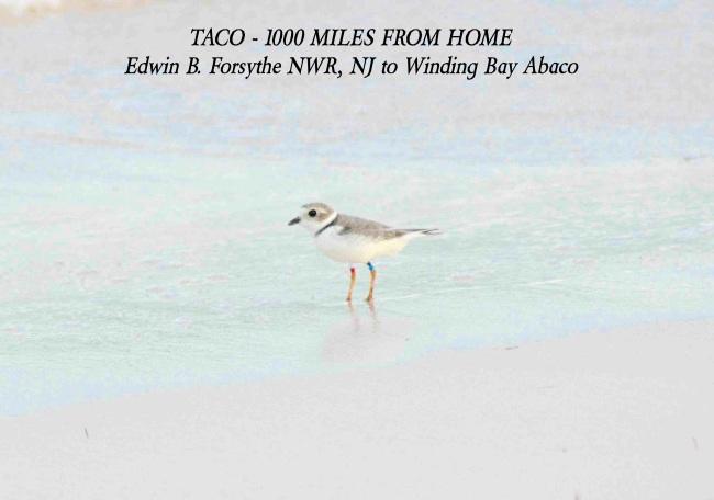 """Piping Plover """"Taco"""", Abaco, Bahamas 2016"""