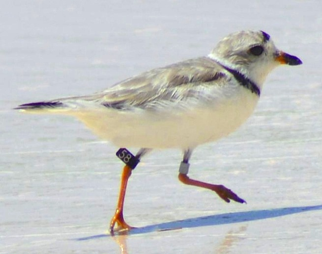 Piping Plover from Newfoundland: 4-aug-6-winding-bay abaco -keith kemp-jpg