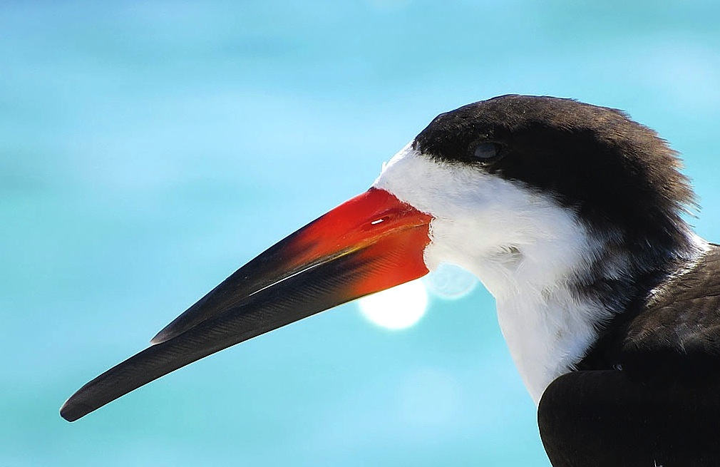 black-skimmer-close-up-don-faulkner-wiki
