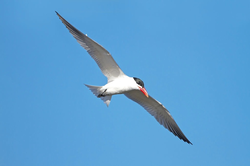 caspian-tern-in-flight-j-j-harrison-wiki