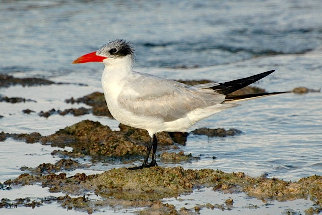 Caspian Tern Abaco Bahamas (Woody Bracey)