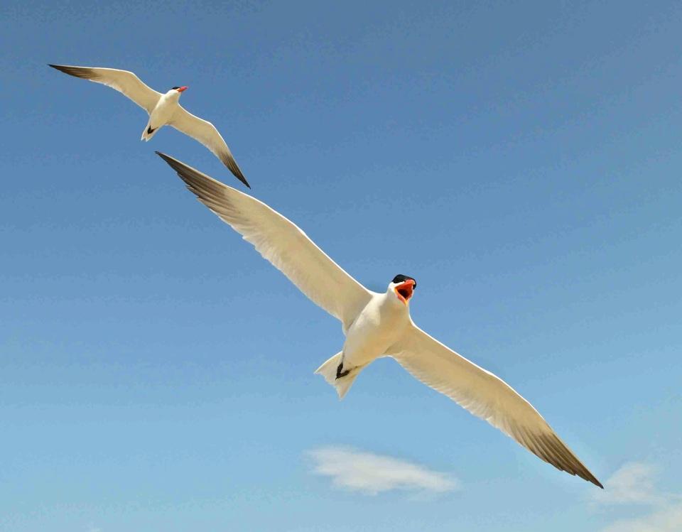 caspian-terns-in-flight-dmitry-mikhirev-wiki