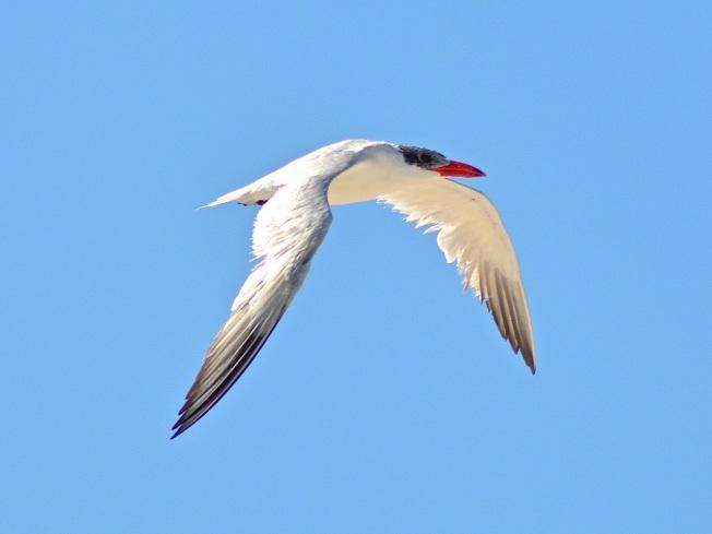 Caspian Tern Abaco Bahamas (Keith Kemp)