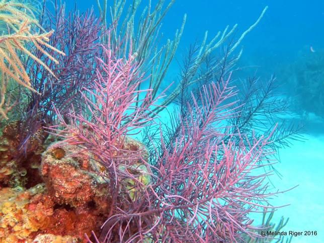 coral-soft-corals-melinda-riger-g-b-scuba
