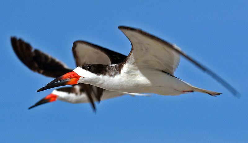 Black Skimmers in flight (Terry Foote, wiki)