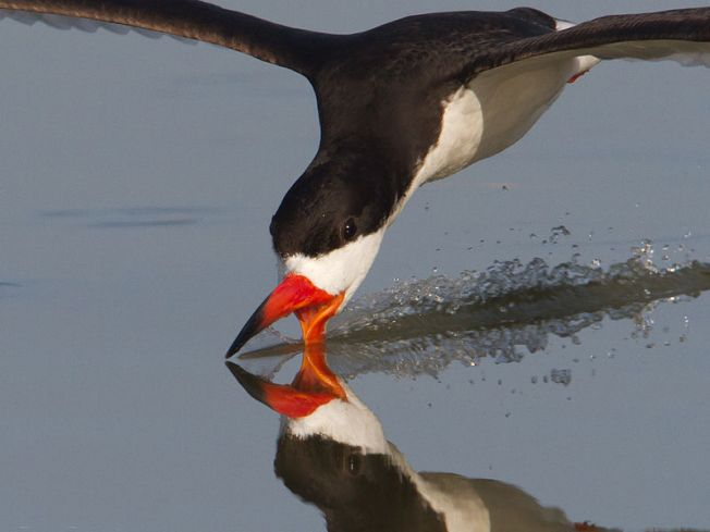 Black Skimmer skimming water for prey (Dan Pancamo wiki)