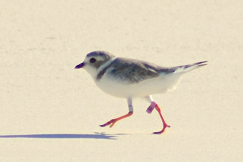 Piping Plover, Abaco Bahamas: pink flag 50 (Keith Kemp)