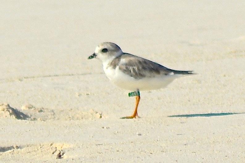 Piping Plover, Abaco, Bahamas, Green Flag 2AN-aug (Keith Kemp)
