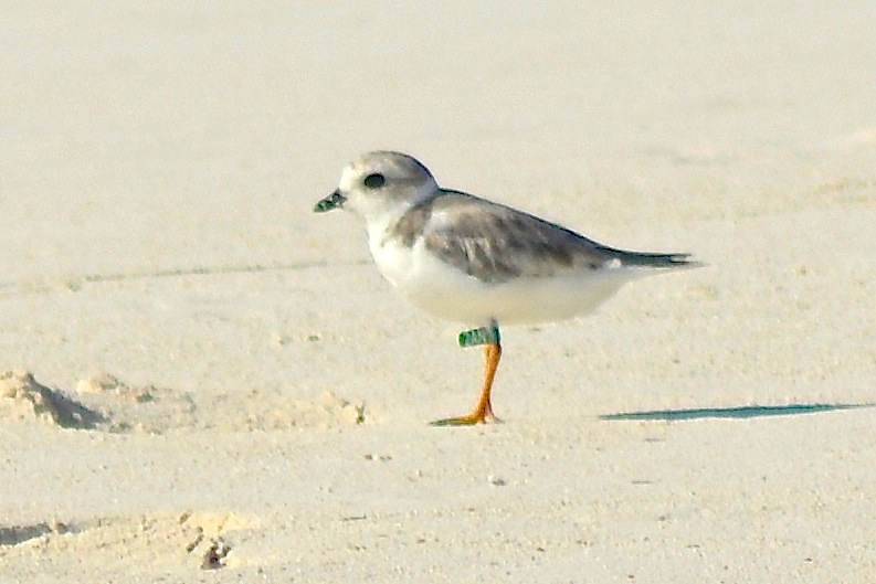 Piping Plover, Abaco, Bahamas, Green Flag 2AN-aug (Keith Kemp)