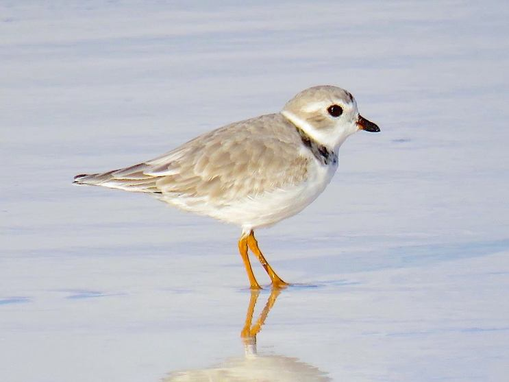 Piping Plover on Abaco Bahamas (Peter Mantle)