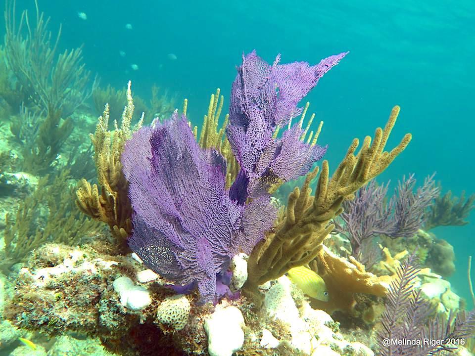 Purple sea fan, Bahamas (Melinda Riger / Grand Bahama Scuba)